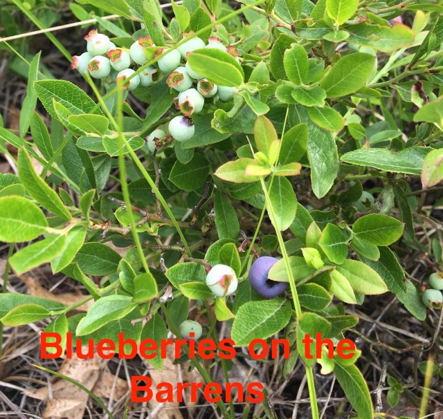 Blueberries on the Barrens