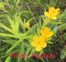 Hoary Pucoon