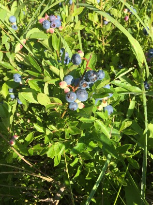 Nature walk July 14 2018 - 2 Blueberries