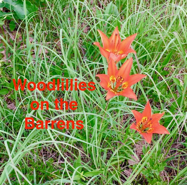 Woodlillies on the Barrens